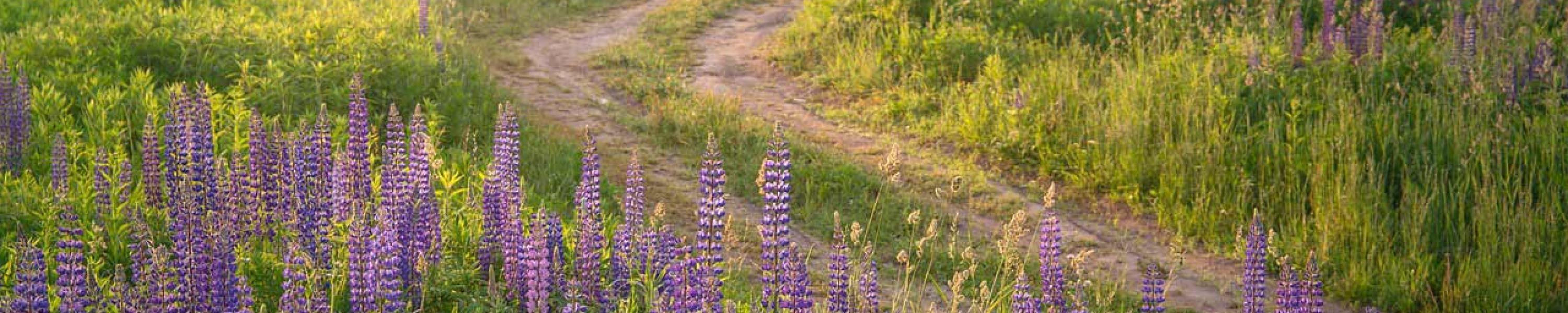field-road-lupine-opt